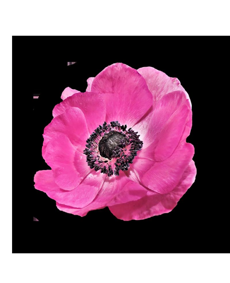 coquelicot rose